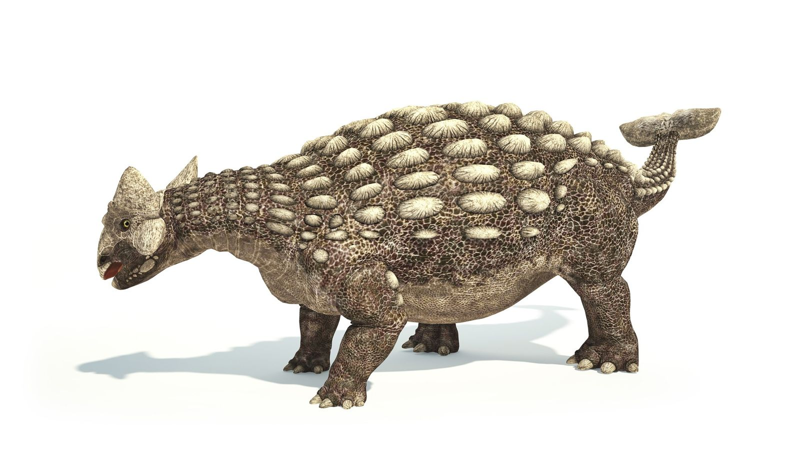 Famous for its clubbed tail, Ankylosaurus roamed North America some 70 million to 66 million years ...