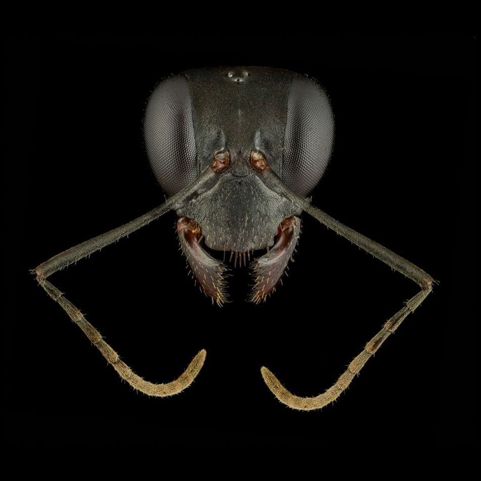 These ant 'portraits' reveal how diverse and beautiful these insects are