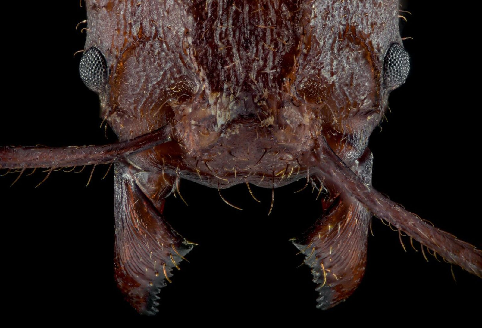 Leaf-cutter ants have rocky crystal armour, never before seen in insects