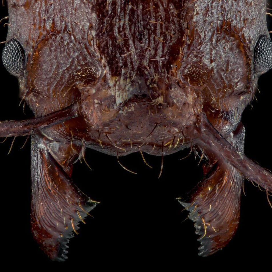 Leaf-cutter ants have rocky crystal armor, never before seen in insects