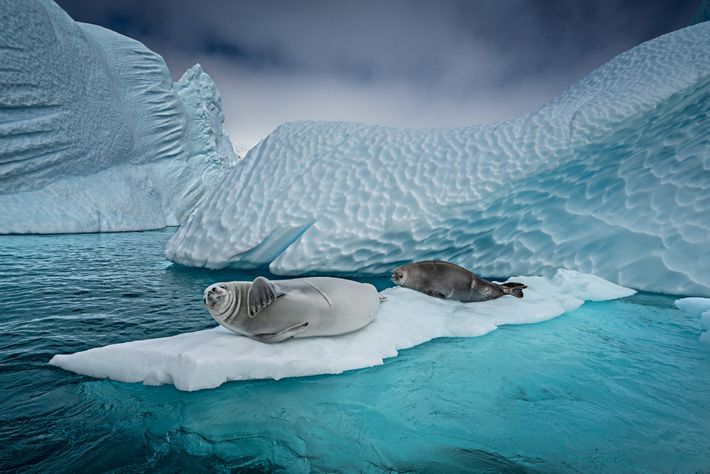 Crabeater seals slither onto floating ice to nap, give birth, or hide from killer whales or ...
