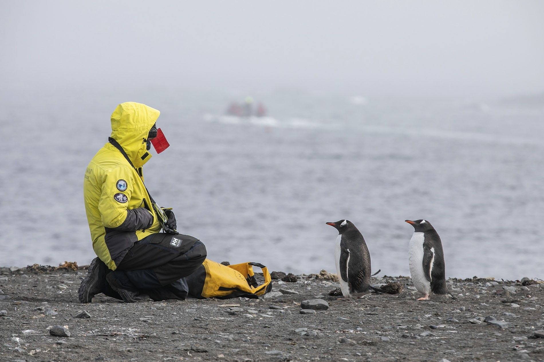 A pair of gentoo penguins and one of Ponant's expedition crew at Elephant Point.