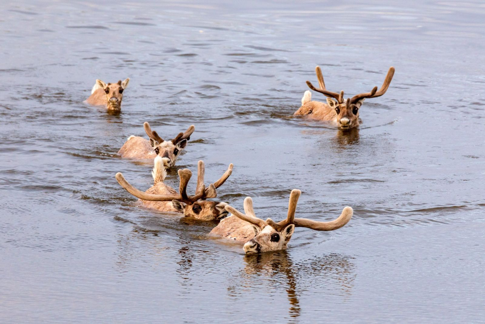 World's largest reindeer herd targeted by poachers for antler velvet