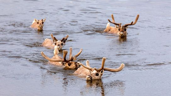 Wild reindeer cross the Kheta River, on the Taymyr Peninsula. Poachers in boats typically saw off ...