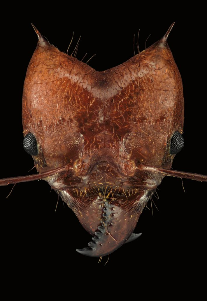 This a leaf-cutter ant, Atta cephalotes, that farms fungus in underground chambers.