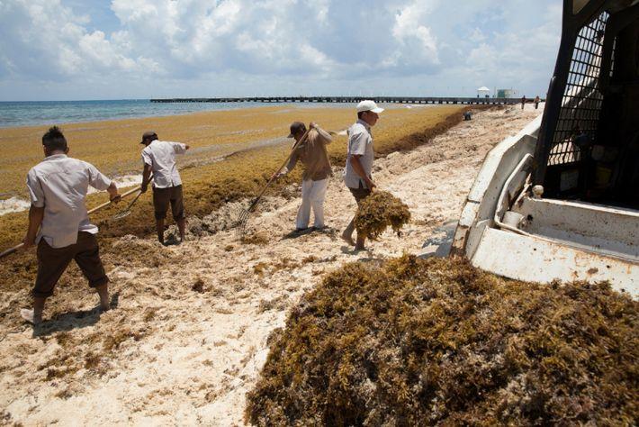 Mexico: Masses of Sargassum Seaweed Washing up on Caribbean Beaches