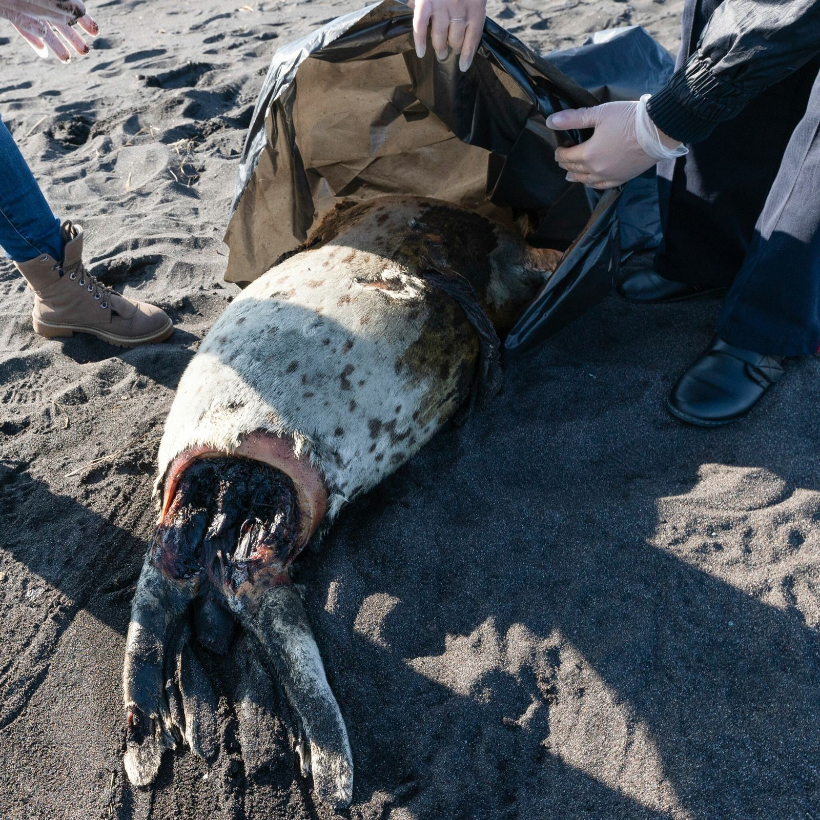 A dead spotted seal washed up on Khalaktyrskiy Beach, in Russia's Far East, along with mounds ...