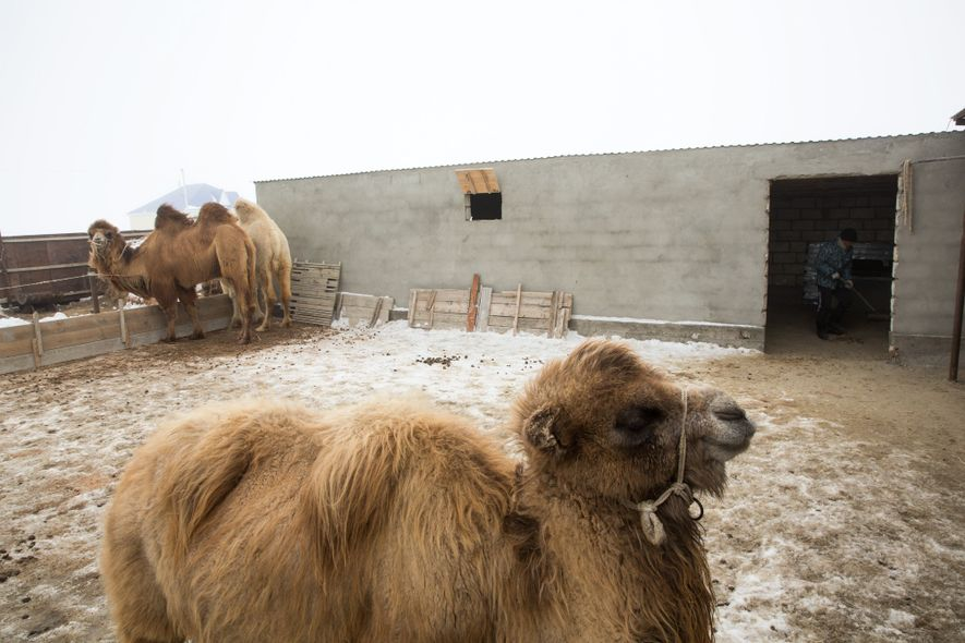 Local people have long relied on camels as livestock, especially as fishing declined.