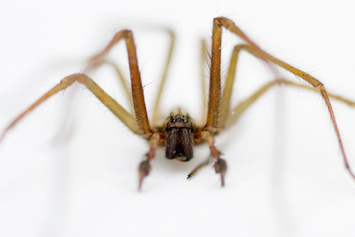 The giant house spider. Not the natural choice for a snack – but surprisingly interesting to ...