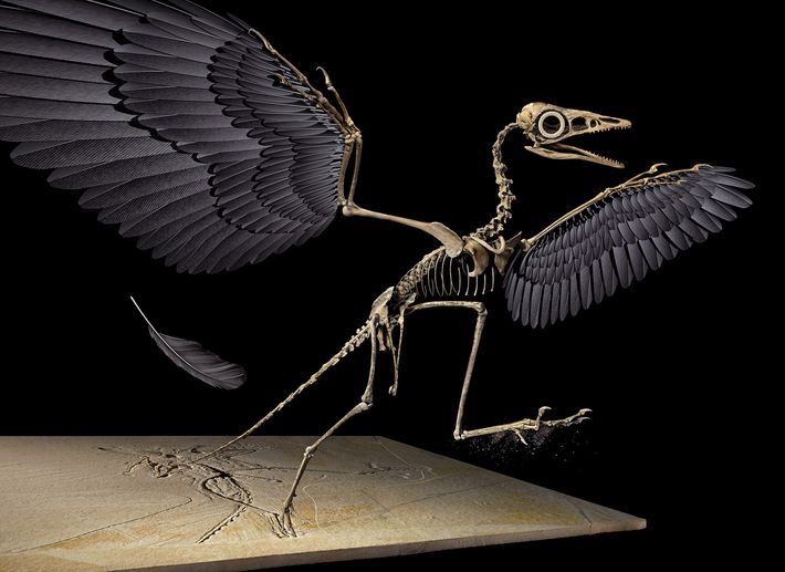 The Jurassic feather came from the left wing of the flying dinosaur Archaeopteryx, reconstructed here in ...