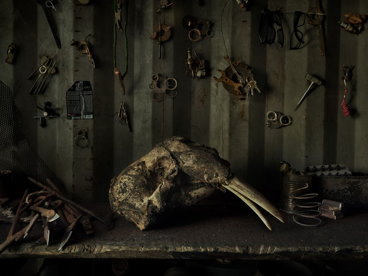 A walrus skull rests on a table in a hunter's garage. Walrus meat is a primary ...