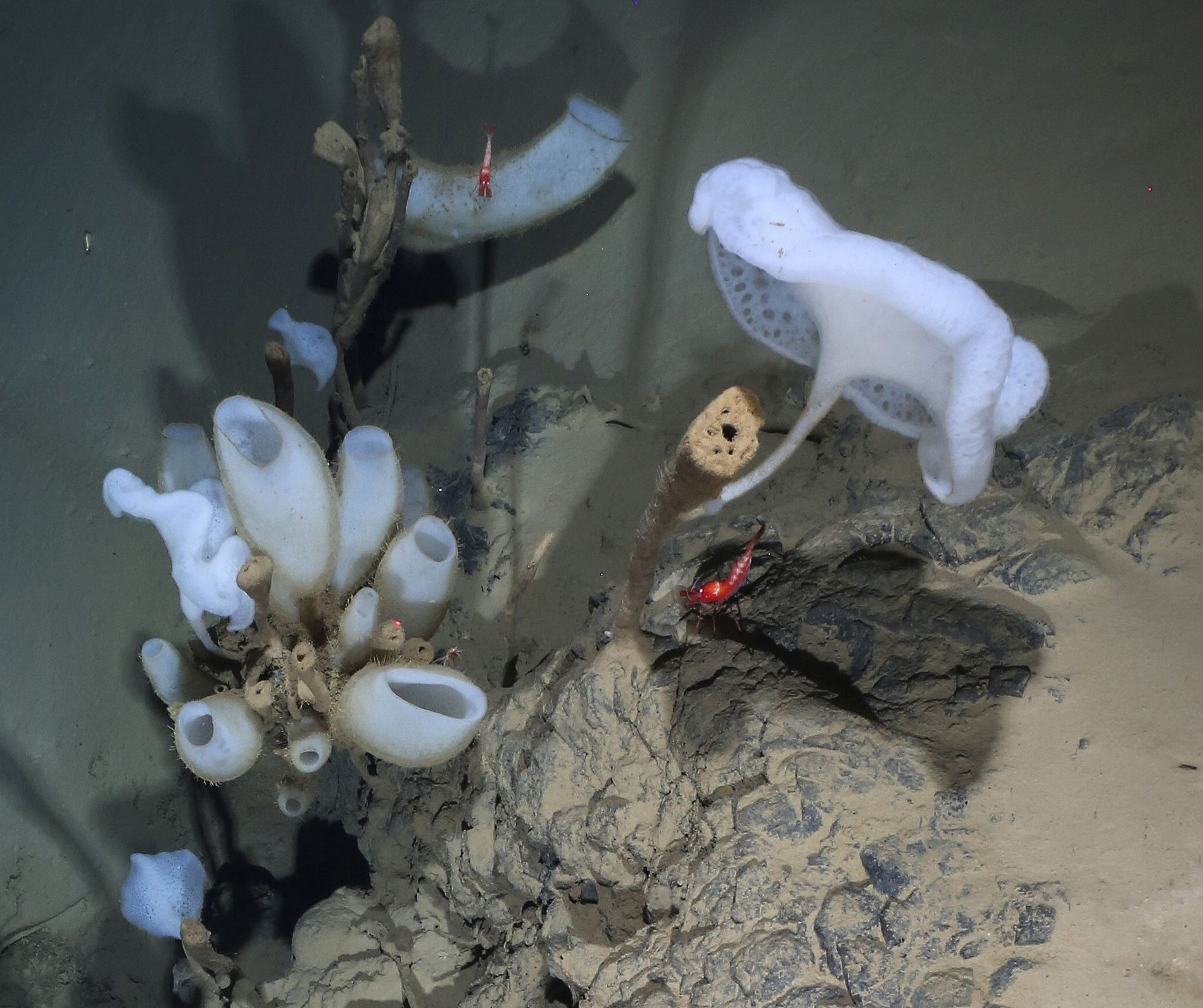 A red shrimp nearly two inches long swims over an outcrop of pillow lava decorated with ...