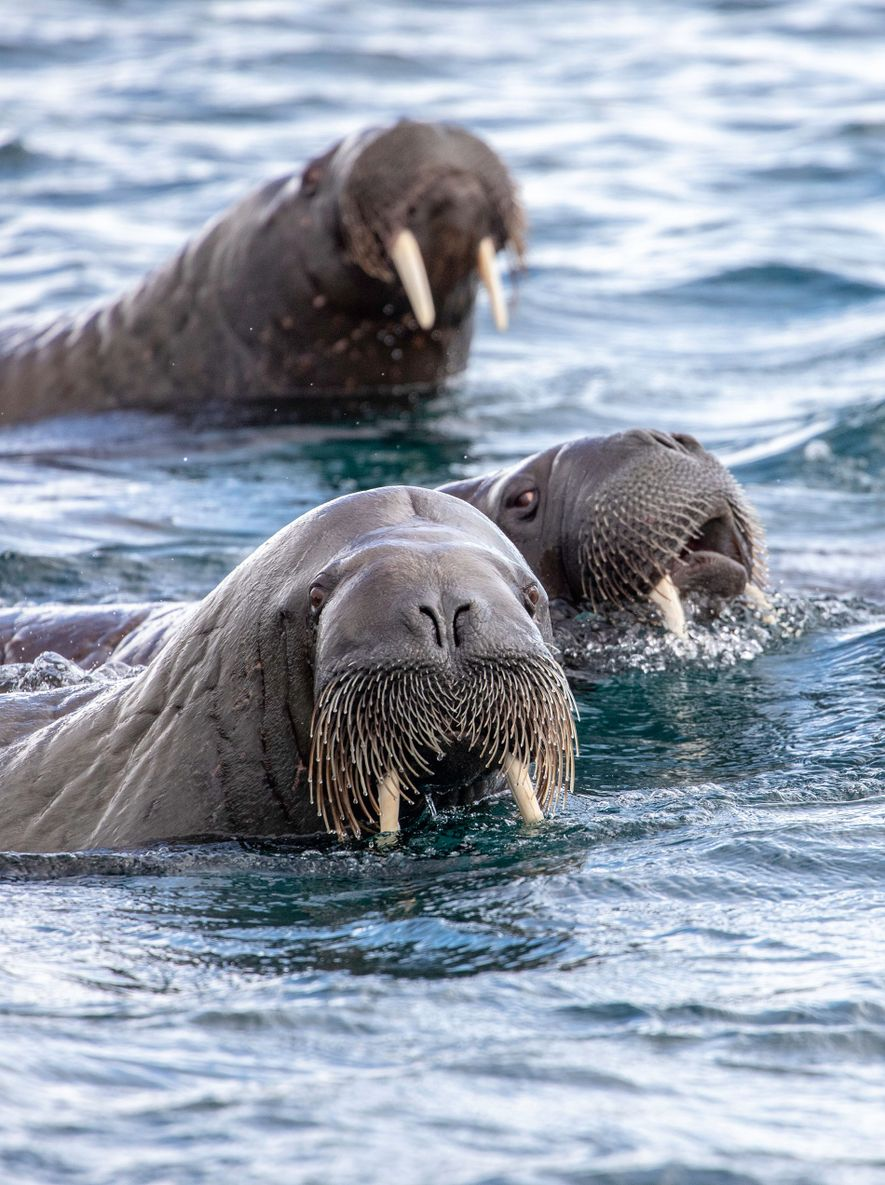 A herd of walrus come up for air.