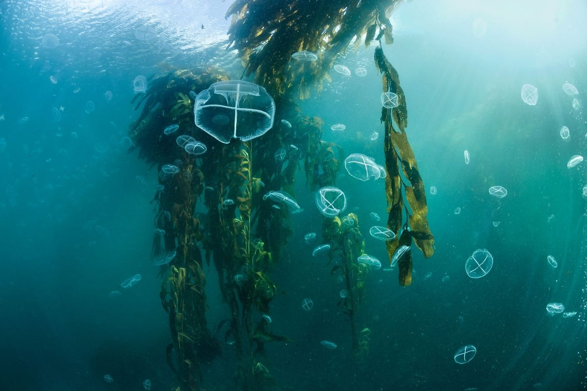 Jellyfish float among the fronds of a kelp forest off Isla de los Estados, Argentina. Giant ...