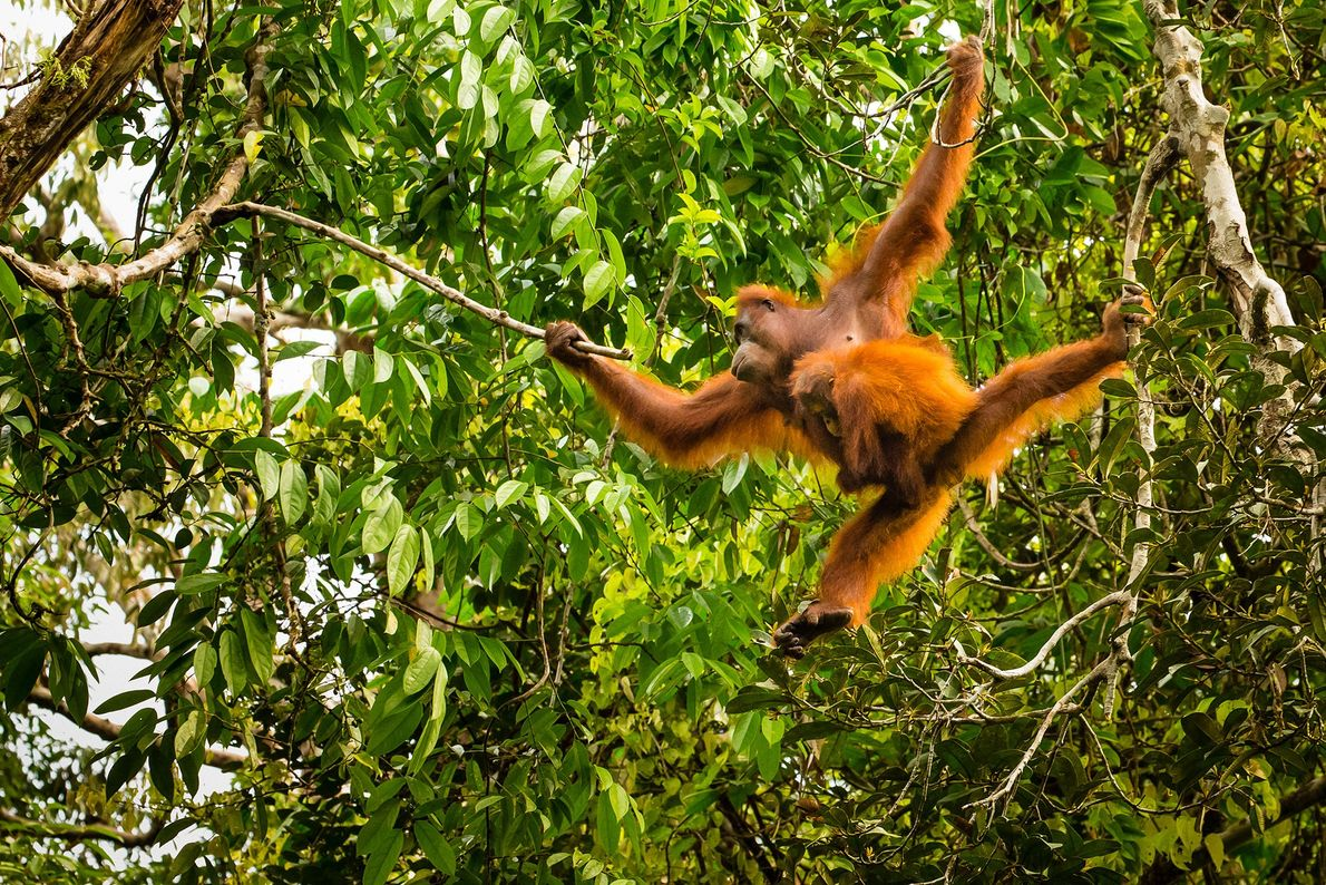Although the island of Borneo is shared by three countries (Malaysia, Indonesia, and Brunei), monkeys, birds, ...
