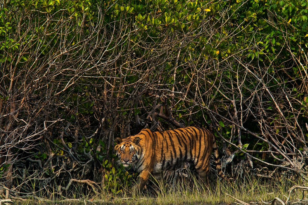 """India's Sundarbans delta is the world's largest coastal mangrove forest, known for its endangered """"man-eating"""" tigers. ..."""