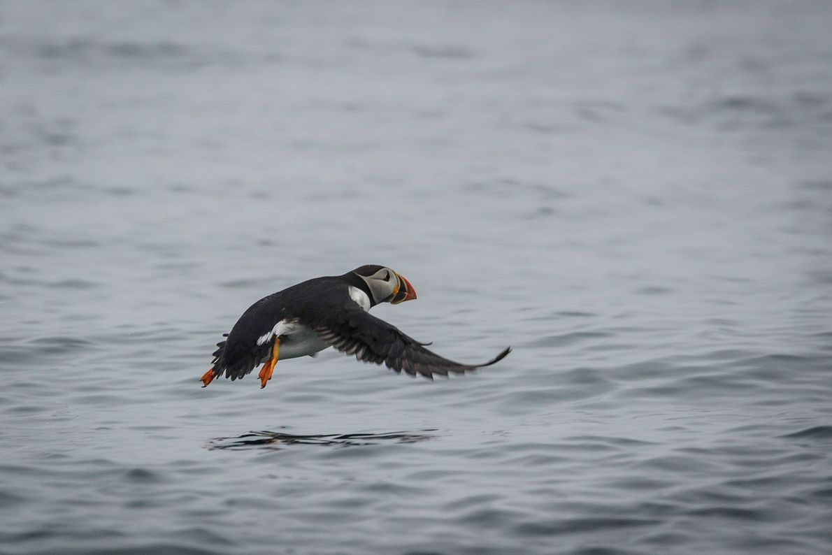 An Atlantic Puffin flies over water at Mingan Archipelago National Park Reserve of Canada.