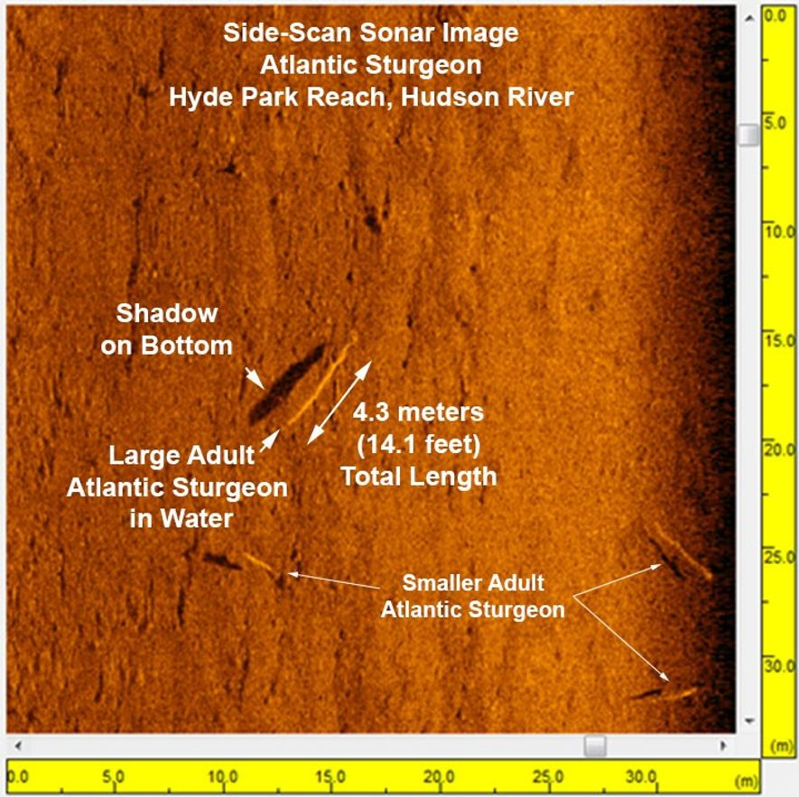 This side-scan sonar image from the Hudson River reveals Atlantic sturgeon in new detail.