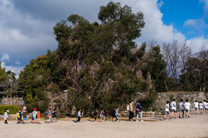 Schoolchildren stream past a stately eucalyptus tree that survived the atomic bombing—one of some 170 hibakujumoku ...