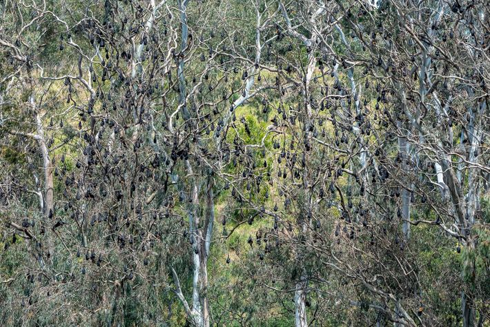 Grey-headed flying foxes hang in trees in Yarra Bend Park. About 30,000 of the bats lived ...