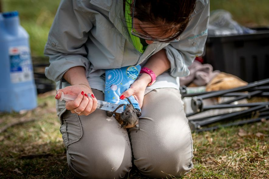 Kate Chamberlain, a wildlife rescuer, gives fluids to a dehydrated grey-headed flying fox in Yarra Bend ...