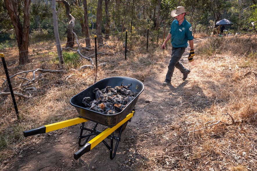 Yarra Bend Park ranger Stephen Brend passes a wheelbarrow filled with dead flying foxes that he ...