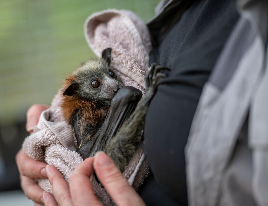 Flying foxes are dying en masse in Australia's extreme heat
