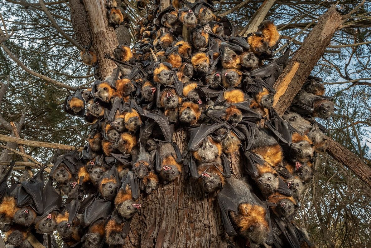 Dozens of panting, suffocating gray-headed flying foxes clump together in an attempt to survive 110-degree heat ...