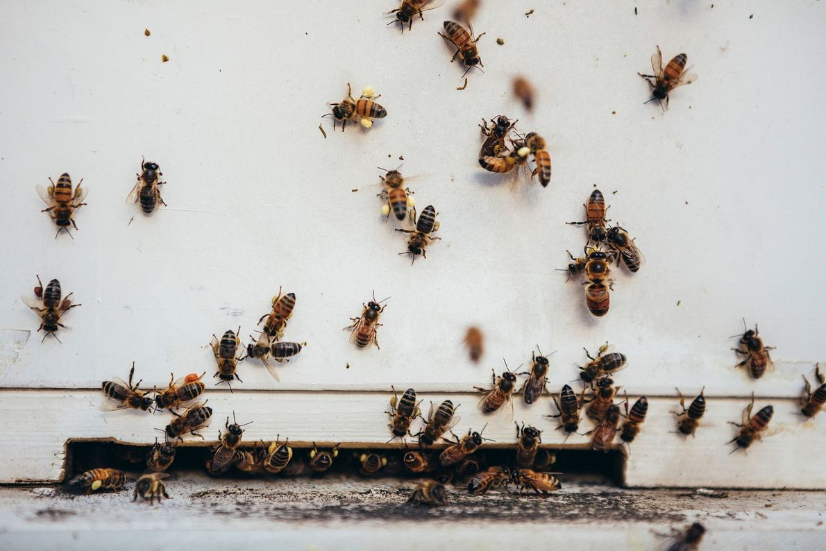Bees in their hive at the Mayfair Hotel, Adelaide.
