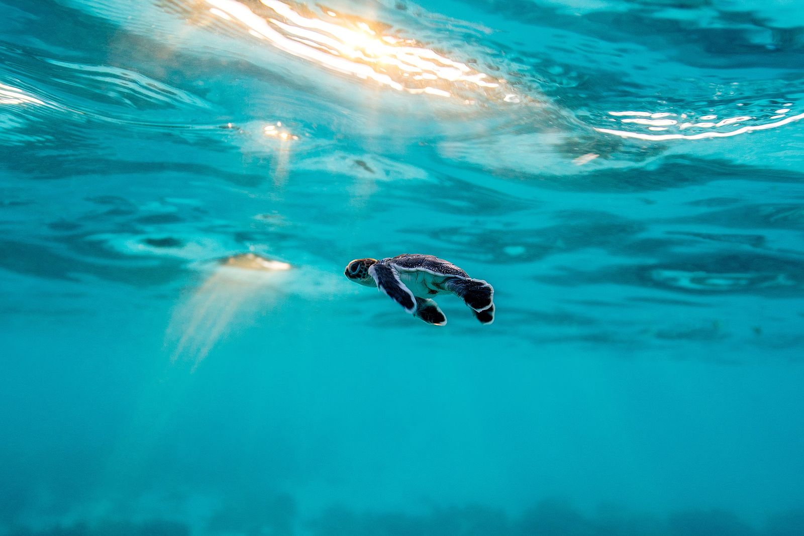 A vulnerable green sea turtle hatchling swims through dappled sunlight in the ocean shallows after hatching ...
