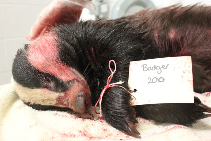 A badger killed by the cull.