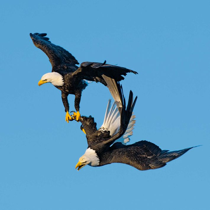 Bald eagles are locked in a courtship embrace during a dramatic aerial display.
