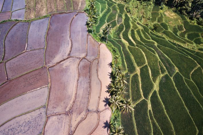 Lush rice fields blanket the Banyuwangi region.