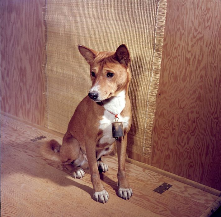 Basenjis (pictured, an animal in Pennsylvania in 1959) do not bark, instead making a chortling sound.
