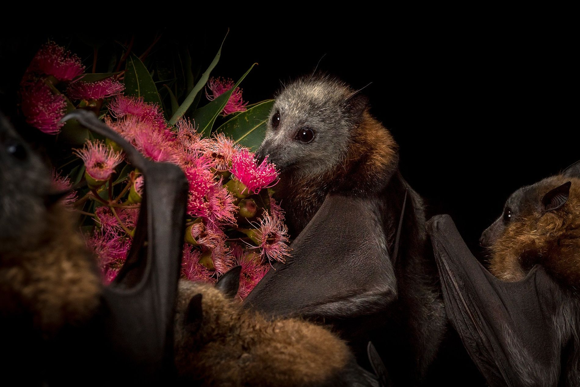 Orphaned and rescued grey-headed flying-foxes feed on the pollen of native eucalyptus flowers that have been ...