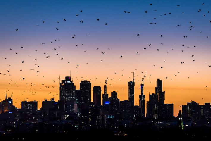 Grey-headed flying-foxes fly out over Melbourne during a warm summer's sunset looking for food. The nightly ...
