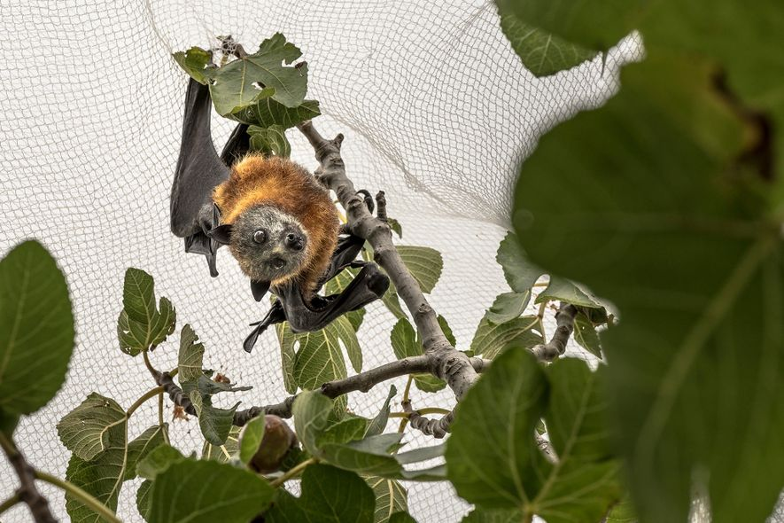 A grey-headed flying-fox is caught under netting in a person's yard in inner Melbourne. The nets ...