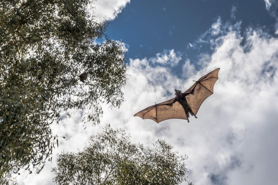 After two months of care, a rescued and rehabilitated grey-headed flying-fox, released just seconds earlier, takes ...