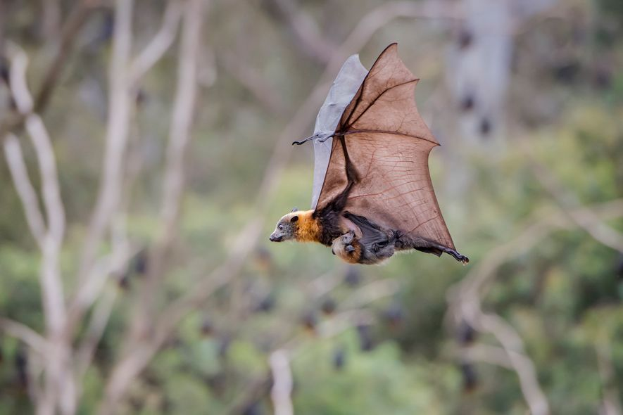 A mother grey-headed flying-fox is in full flight, and can reach speeds of up to 25 ...