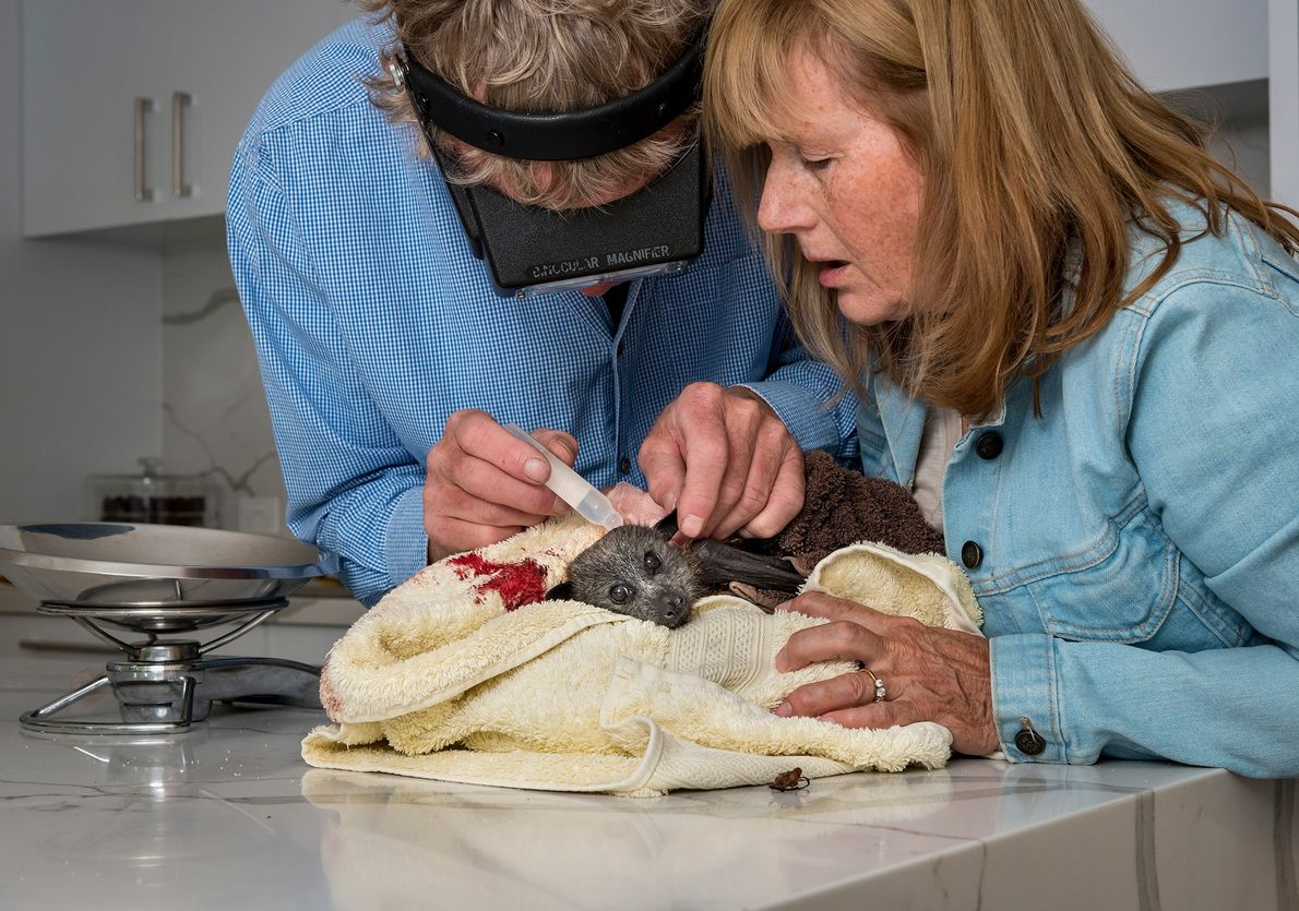 Wildlife bat rescuers, Paul and Bev, treat a grey-headed flying-fox in their kitchen. A dog attacked ...