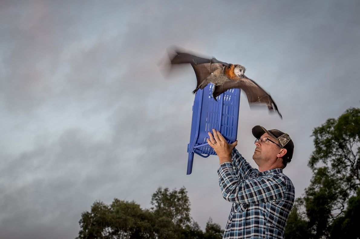 A rescued grey-headed flying-fox is released back into the wild at the Melbourne camp after months ...