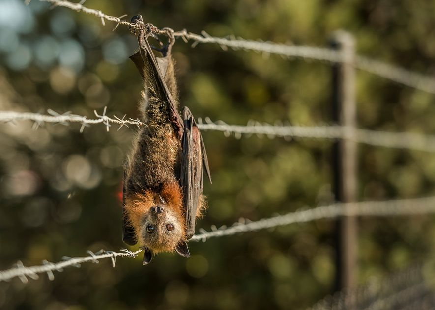 A grey-headed flying-fox hangs entangled in barbed wire that surrounds a factory in a Melbourne suburb. ...