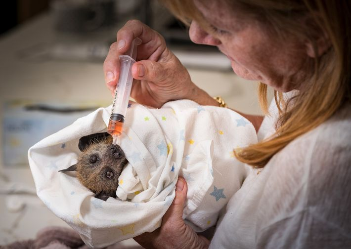 A rescued grey-headed flying-fox pup is looked after by wildlife caretaker Bev Brown. The bats are ...