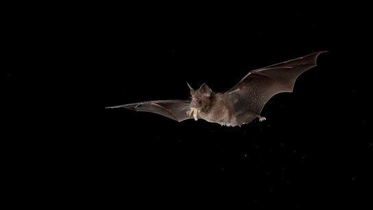 The Chinese horseshoe bat (Rhinolophus sinicus) ranges from northern India to southern China. Horseshoe bats are ...