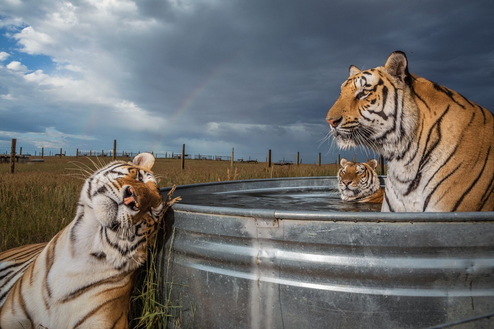 Clay, Daniel, and Enzo, three of 39 tigers rescued from an animal park in Oklahoma, gather ...