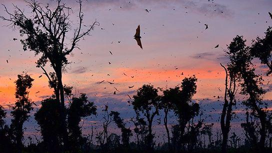 Kasanka's famous golden-hued fruit bats (Eidolon helvum) begin arriving in the park in October, their numbers ...