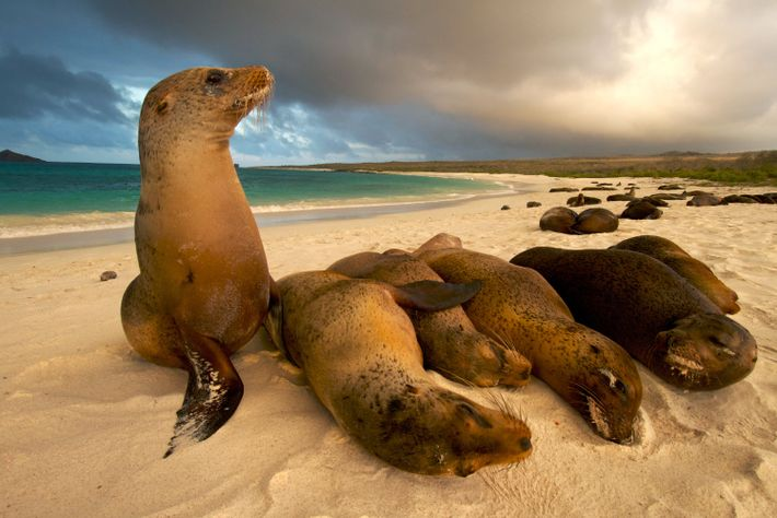 A cluster of Galápagos sea lions lounges on the beach.