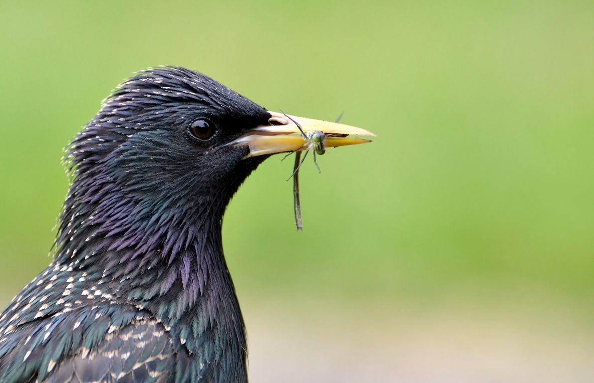 A starling with its iridescent plumage catches a tasty meal.