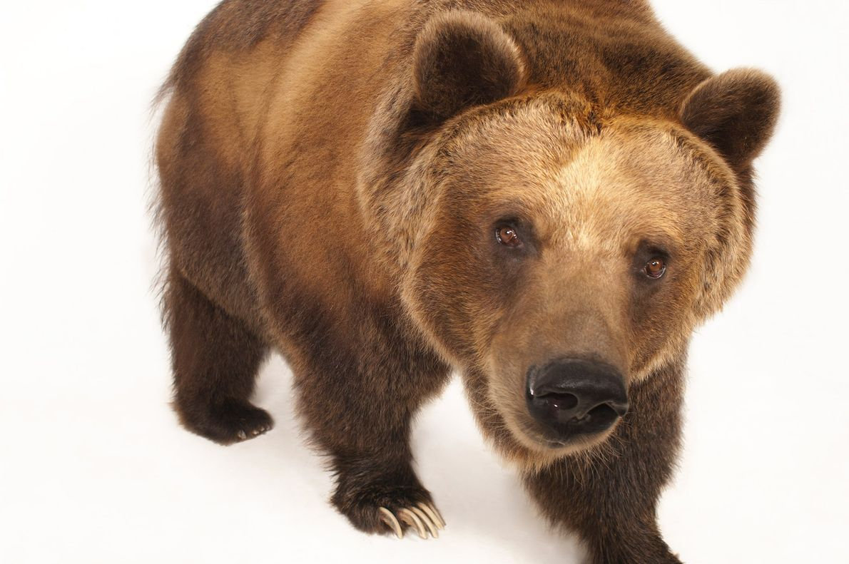 Grizzly bears can be eight feet long and weigh more than a thousand pounds.