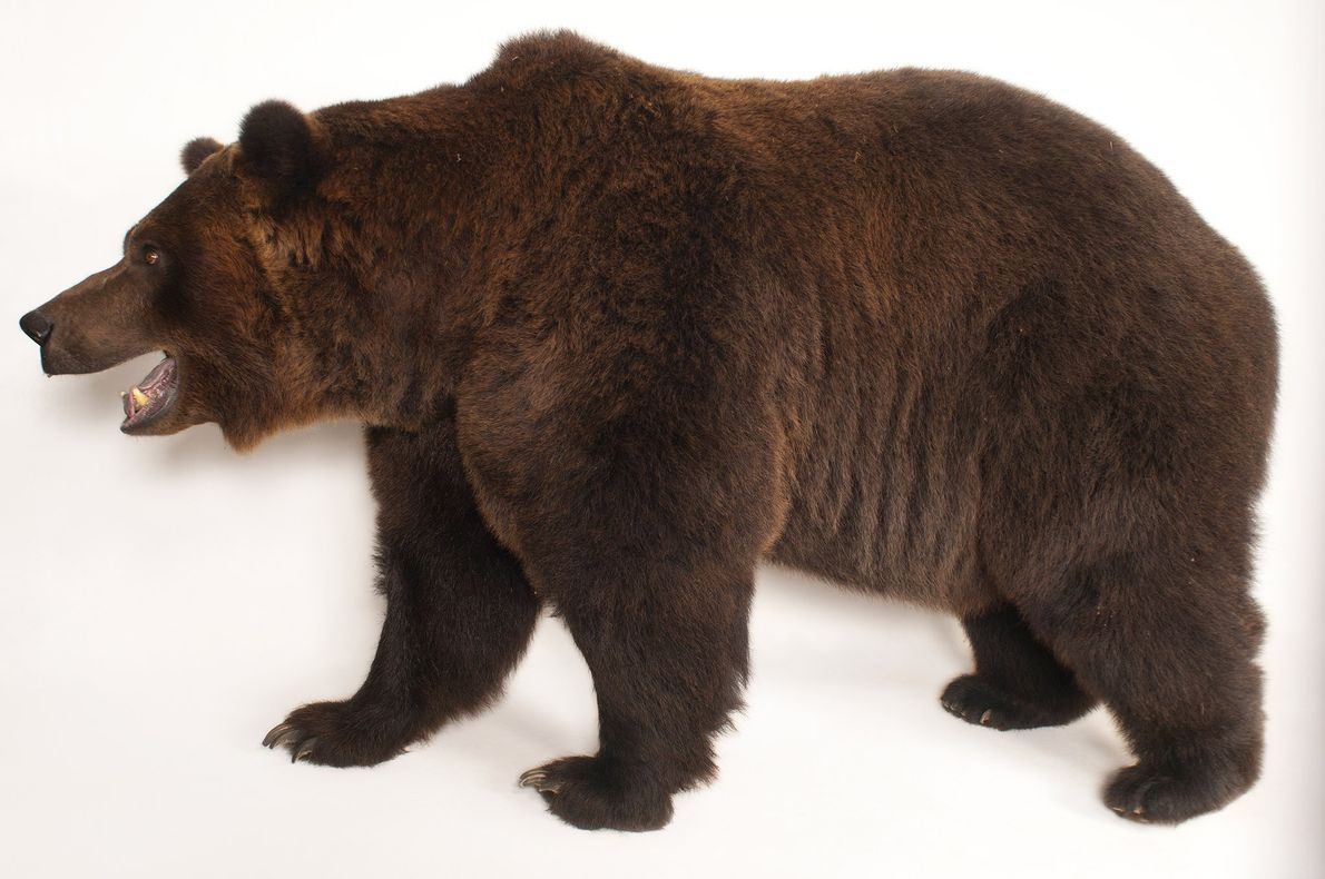 Grizzly bears, like all bears alive today, are descended from a 30-million-year-old ancestor that looked like ...